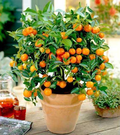 citrico enano