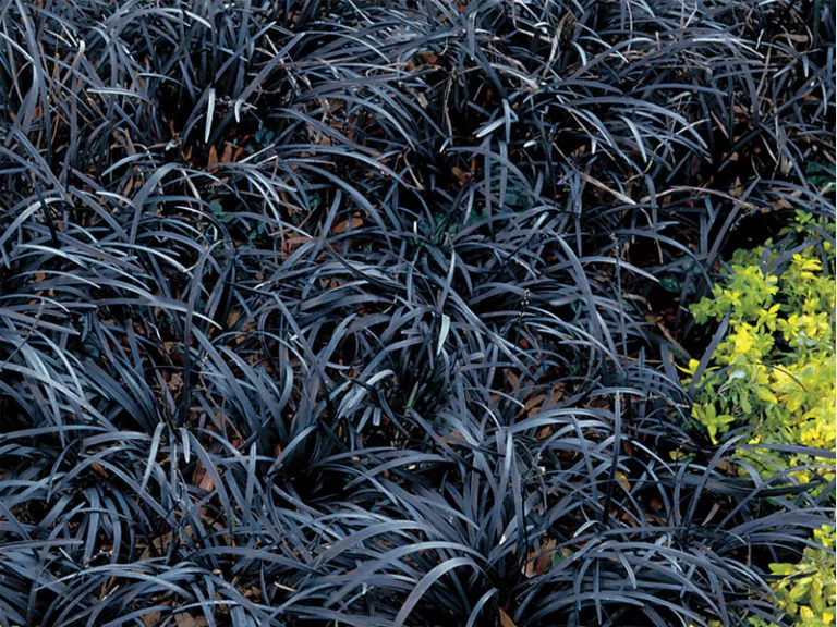 hierba mondo negro