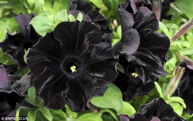 petunias de terciopelo negro