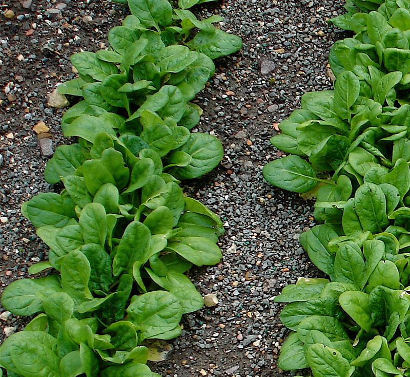 plantar espinaca