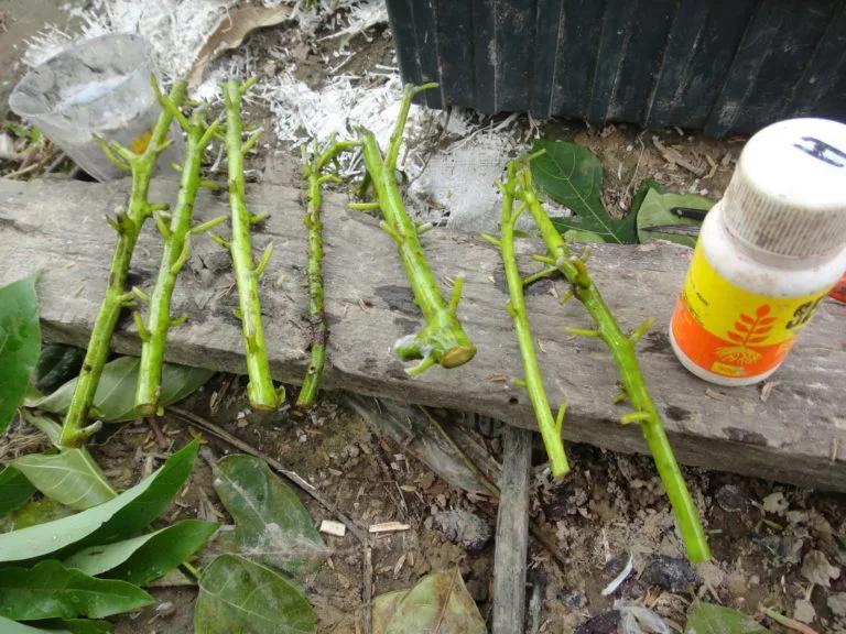 propagar aguacate