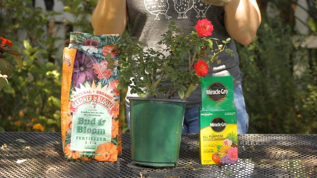 fertilizar rosas