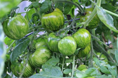 tomates cebra verde