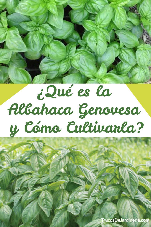 Qué es la Albahaca Genovesa y Cómo Cultivarla