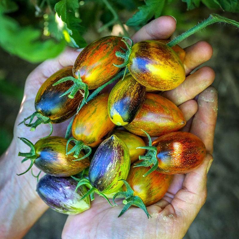 tomate uva