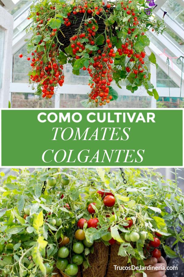Cómo Cultivar Tomates Colgantes