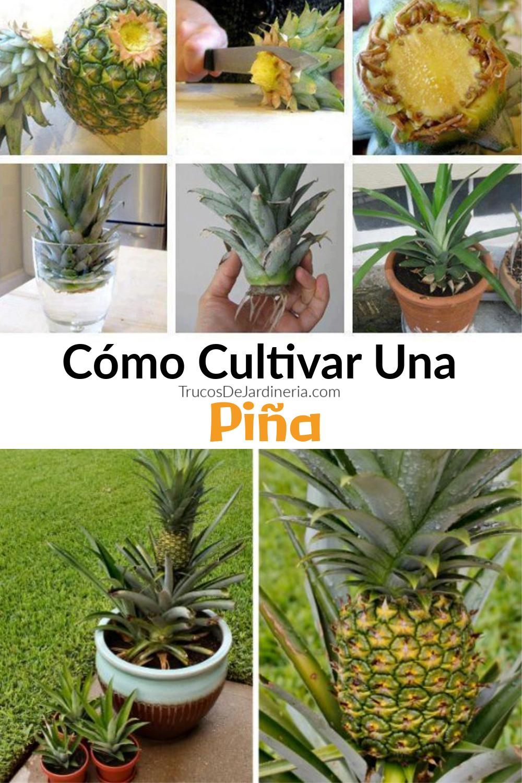 ¿Estás buscando aprender a cultivar una piña? ¡Has venido al lugar correcto! La piña (Ananas comosus) es una planta tropical que forma parte de la familia Bromeliaceae y se puede cultivar en varios climas diferentes, favoreciendo un clima tropical o subtropical.