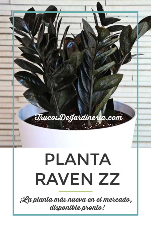 Planta Raven ZZ