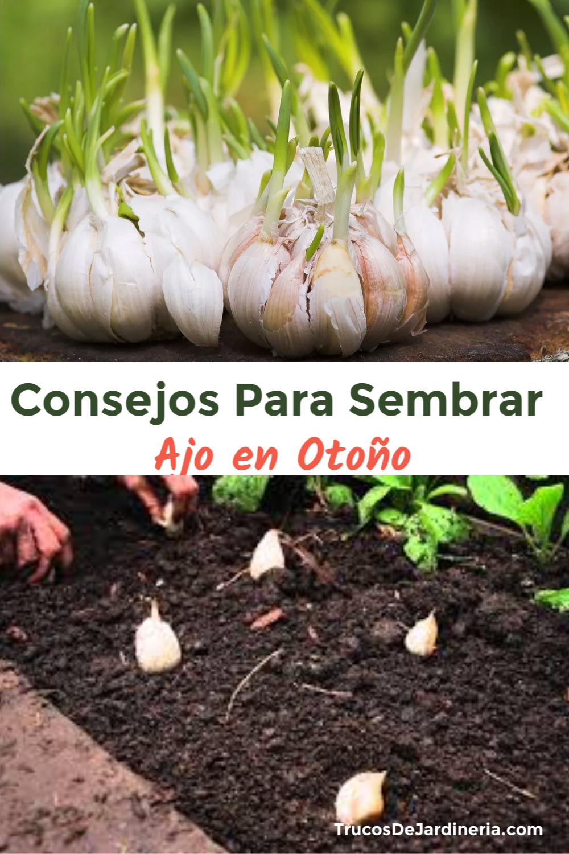 Semrar ajo en otoño es una excelente manera de asegurar una cosecha saludable que generalmente está lista para mediados del verano. #sembrarajo #trucosdejardineria
