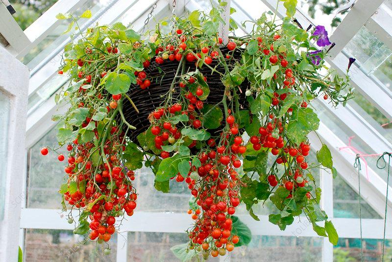 tomate colgante