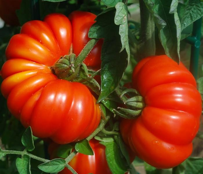 Tomates de Herencia Italiana