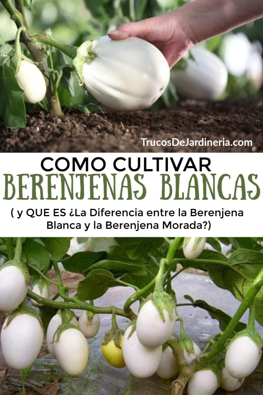 Berenjena Blanca