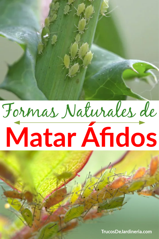 ¡Estas formas naturales de matar áfidos funcionan tan bien como los aerosoles químicos y son mucho más seguras para su jardín, familia y mascotas!