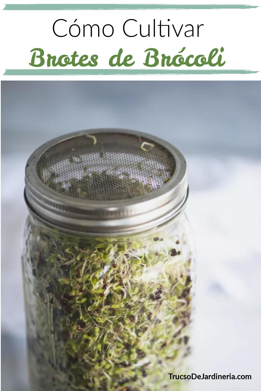 Cómo Cultivar Brotes de Brócoli en Casa