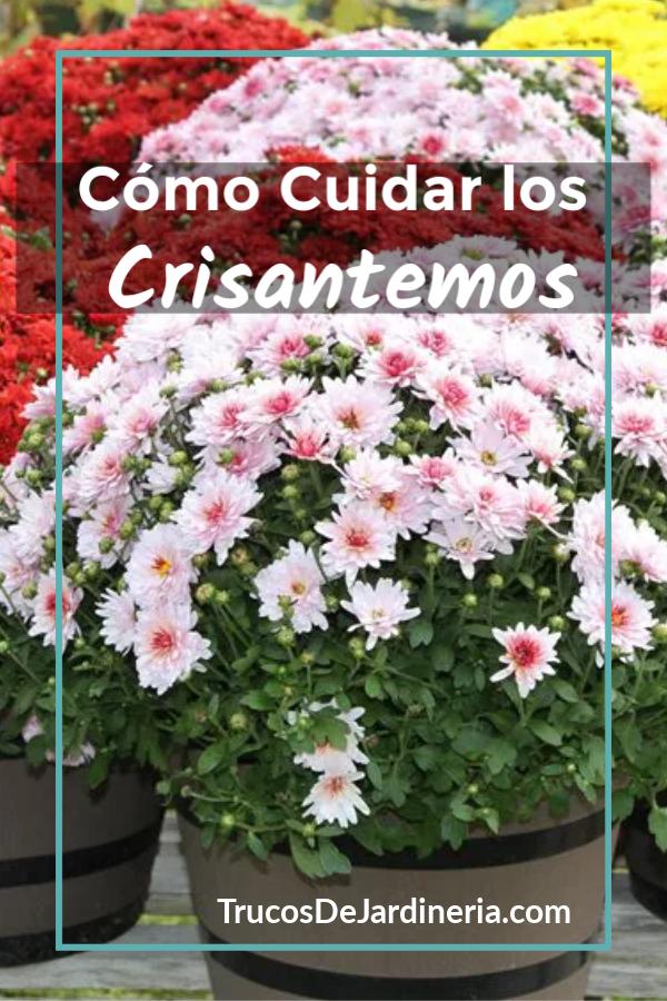 Cuidar los Crisantemos