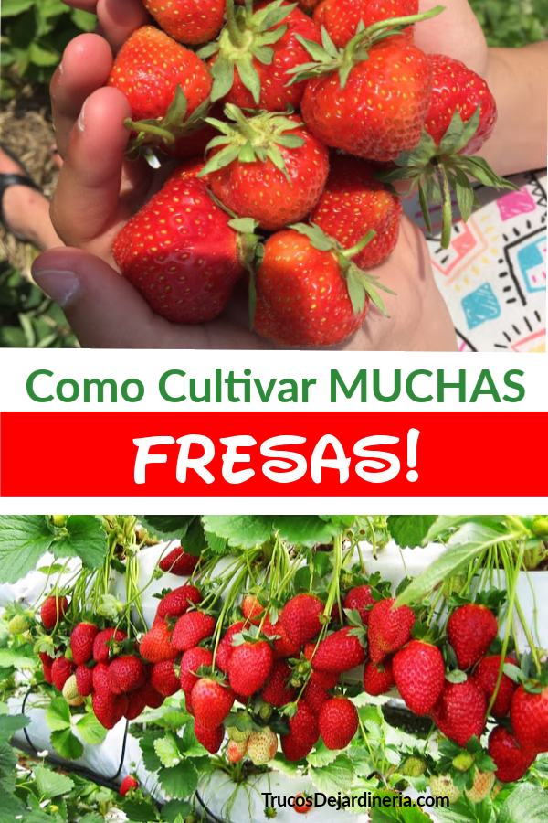 Cultivar Muchas Fresas