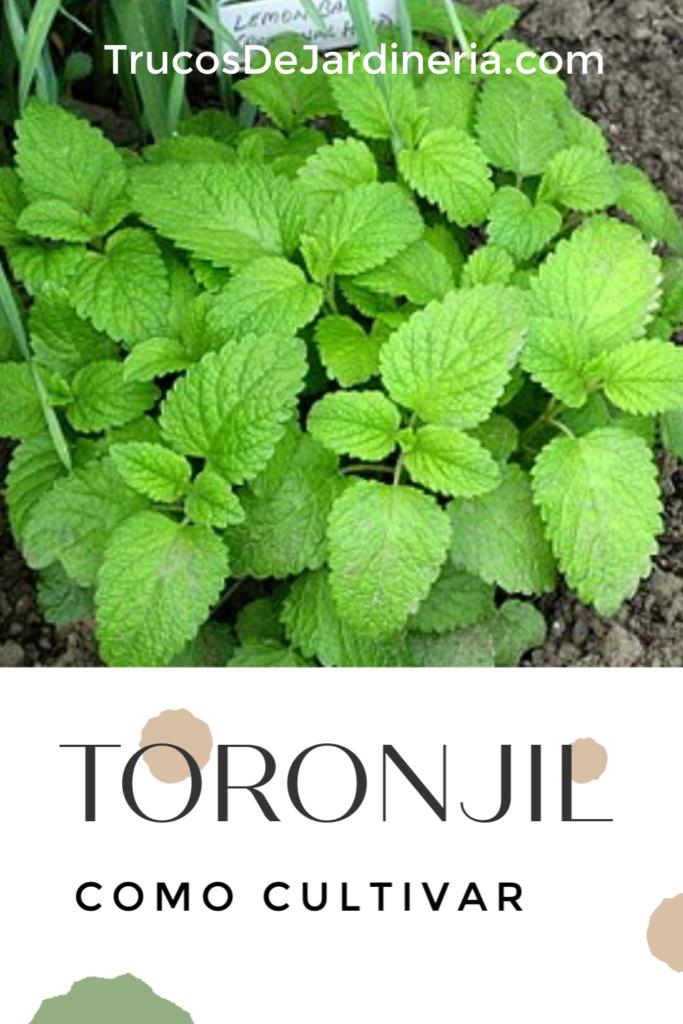 Cultivar Toronjil