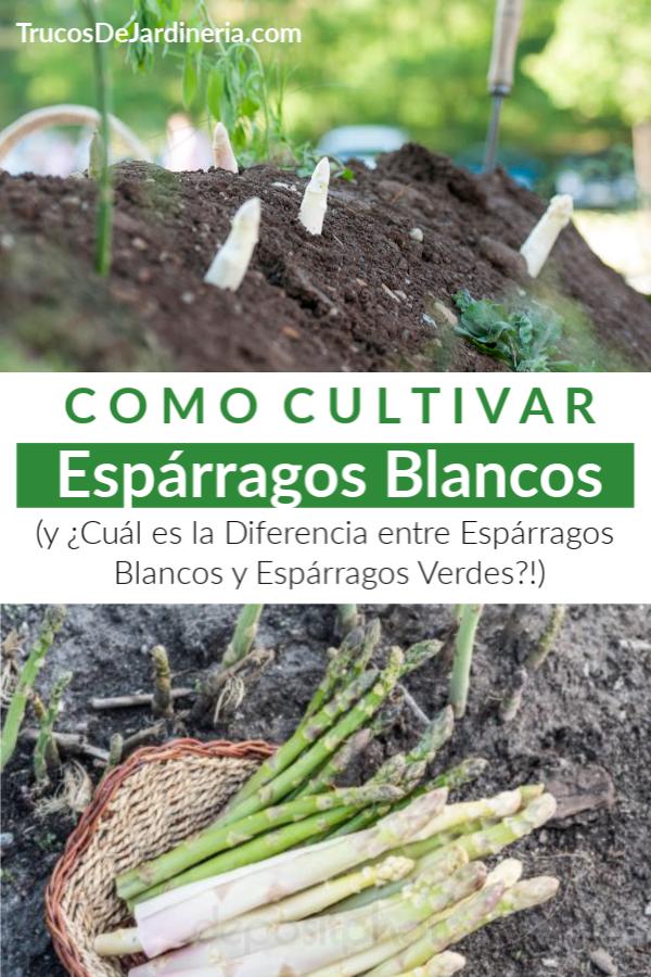 ¡Sigue leyendo para aprender a cultivar espárragos blancos en esta guía de jardinería fácil de seguir!