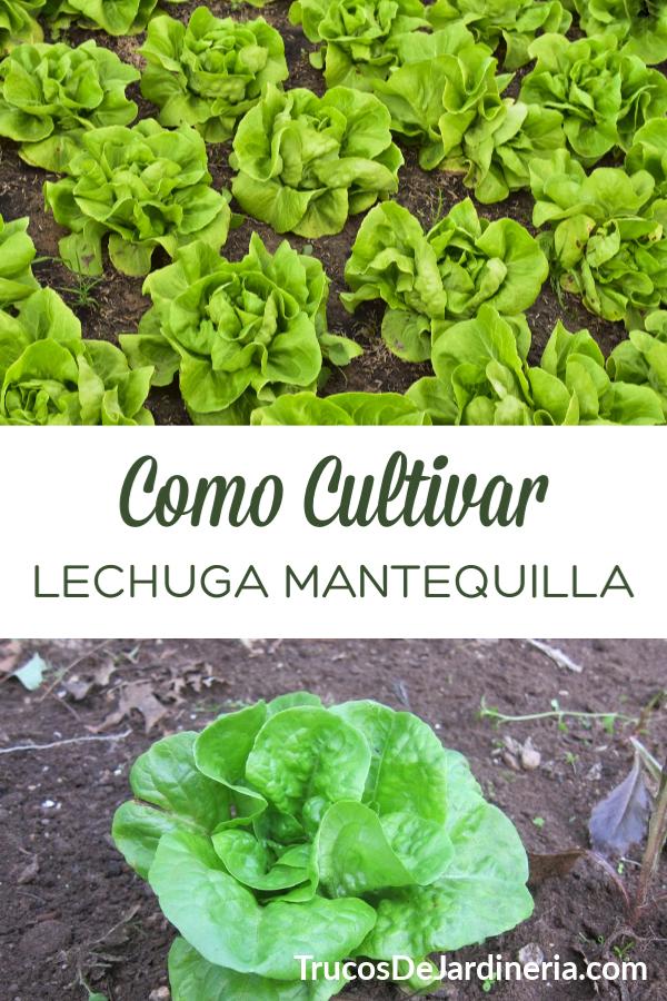 Lechuga Mantequilla