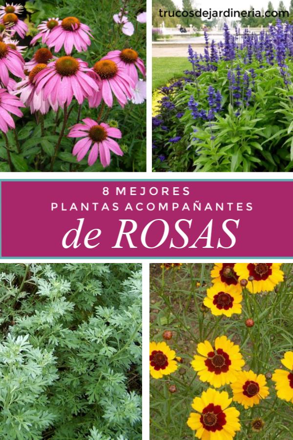 8 Mejores Plantas Acompañantes de Rosas