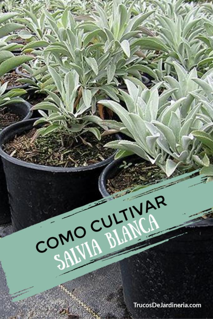 Salvia Blanca