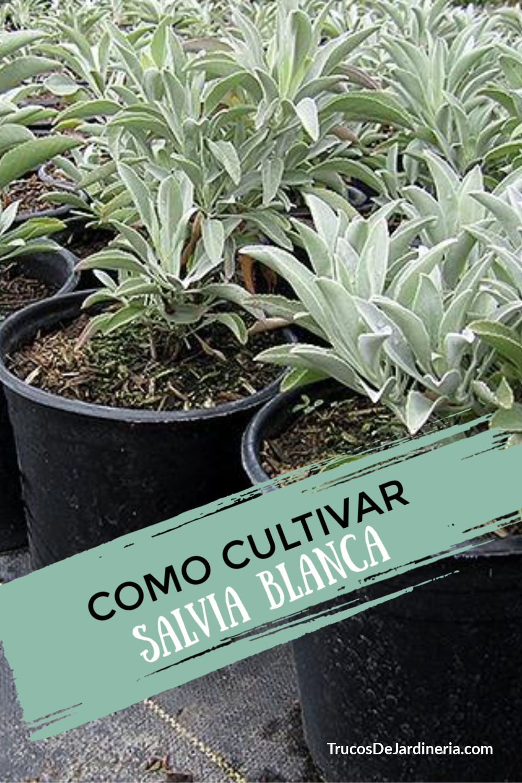Cómo Cultivar Salvia Blanca