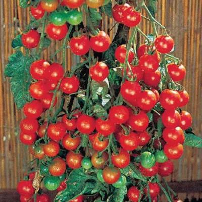 Tomate Super Dulce 100