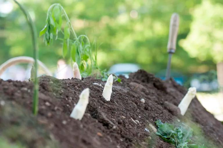 cultivar esparagos blanco
