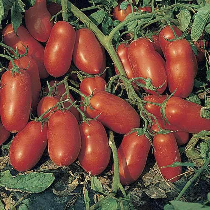 tomates inca
