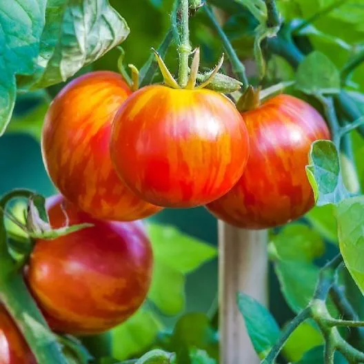 tomates tigerella