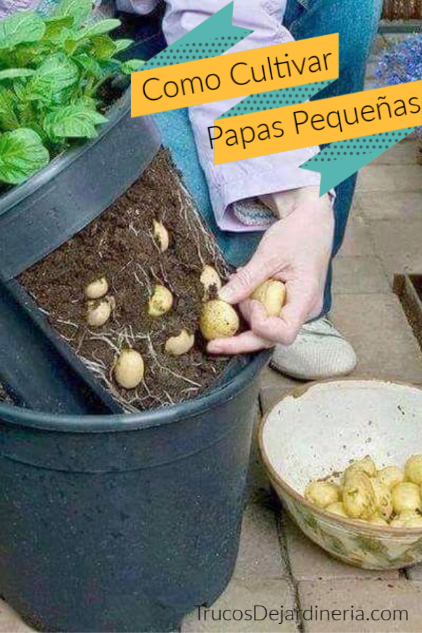 Papas Pequeñas