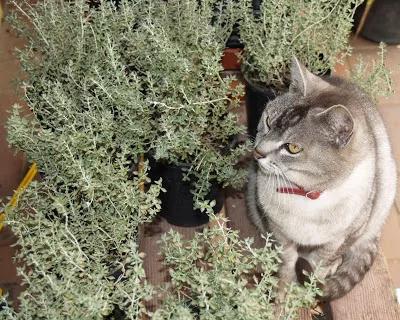 Tomillo de Gato