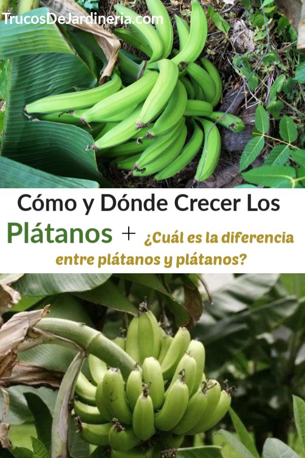 Cómo Cultivar Plátanos