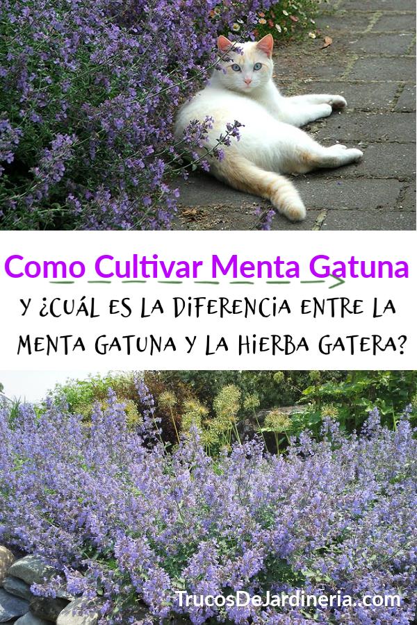 Como Cultivar Menta Gatuna