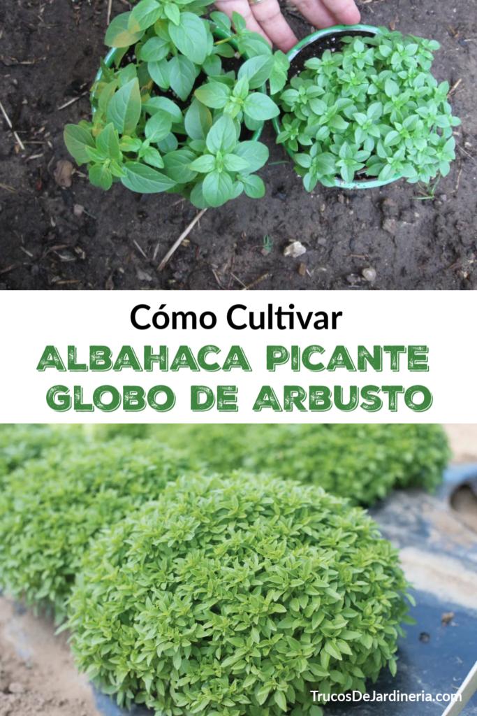 Cultivar Albahaca Picante Globo de Arbusto