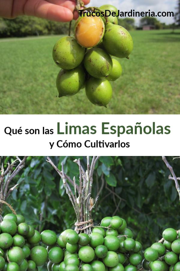 Las limas españolas, o Mamoncillo, son racimos de frutas que se asemejan a las limas pequeñas, pero tienen una cáscara externa dura y un interior tipo lichi.