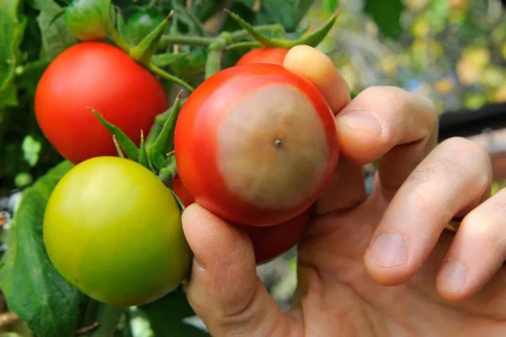 Podredumbre Apical tomates