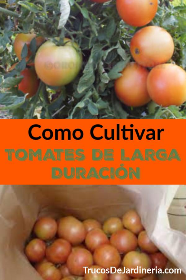 Los jardineros que aman cultivar tomates, saben que los tomates de larga duración son una de las mejores variedades de tomate para cultivar porque se mantienen durante mucho tiempo.