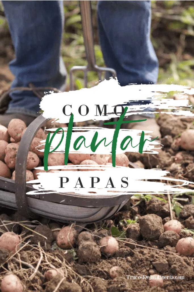 Como Plantar Papas