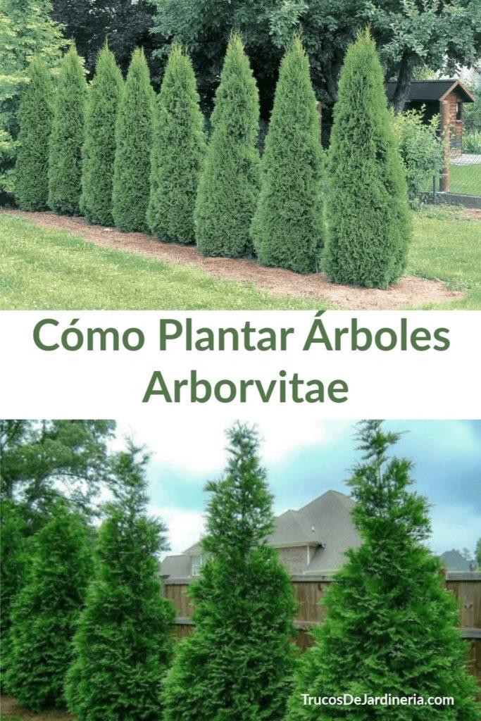 Cómo plantar árboles Arborvitae