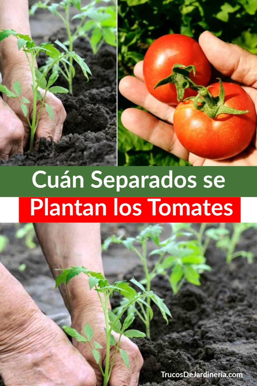 ¡Hoy hablaremos sobre cuán separados se plantan los tomatoes y por qué es tan importante saber esto! #tomates #jardineria