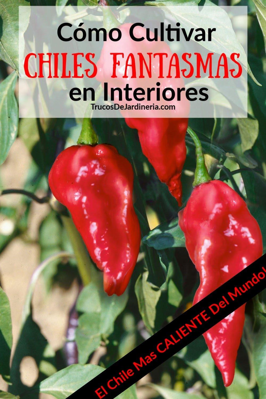 Esta guía sobre cómo cultivar chiles fantasmas en interiores te ayudará a cultivar pimientos súper picantes durante toda la temporada.