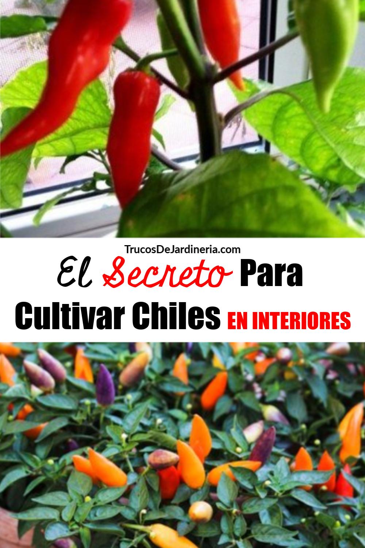 Cómo Cultivar Chiles en Interiores