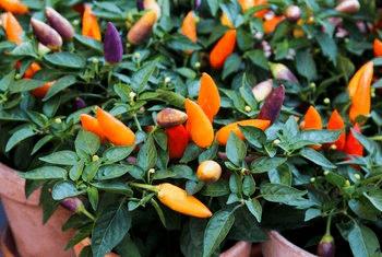cultivar chiles en interiores